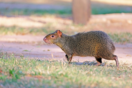 Agouti, aguti or common agouti, Dasyprocta, family of the Dasyproctidae, a rodent with brown fur, Mato Grosso Do Sul, Brazil, South America