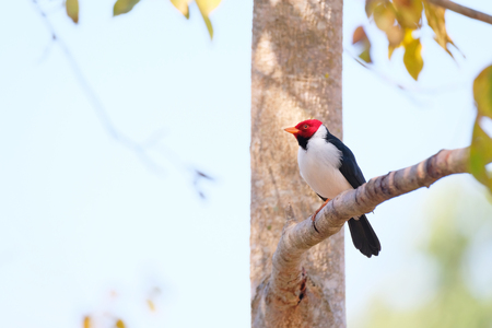 Yellow-billed Cardinal, Paroaria Capitata, black and white song bird with red head, Mato Grosso, Pantanal, Brazil, South America