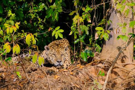 Jaguar, Panthera Onca, resting on a riverbank, Cuiaba River, Porto Jofre, Pantanal Matogrossense, Mato Grosso, Brazil South America