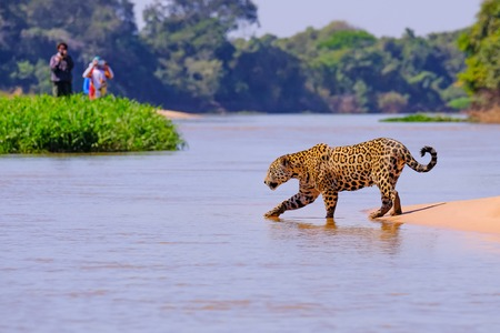 Jaguar, Panthera Onca, Female, observed by unrecognizable tourists crossing Cuiaba River, Pantanal, Mato Grosso do Sul, Brazil, South America