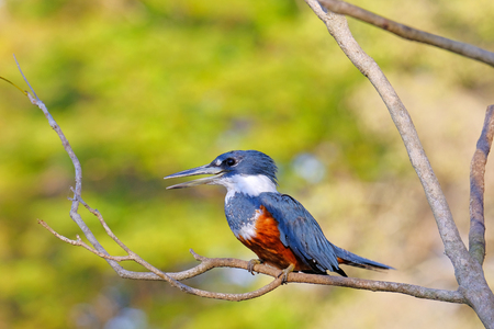 Female Ringed Kingfisher, Megaceryle Torquata, a large, conspicuous and noisy kingfisher bird, Mato Grosso, Pantanal, Brazil, South America. Also found in southern USA, Central America, South America