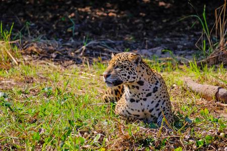 Jaguar, Panthera Onca, on a riverbank, Cuiaba River, Porto Jofre, Pantanal Matogrossense, Mato Grosso, Brazil South America