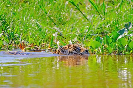 Jaguar, Panthera Onca, Female, swims across Cuiaba River, Porto Jofre, Pantanal Matogrossense, Mato Grosso do Sul, Brazil, South America Banco de Imagens