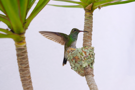 Female Glittering-Bellied Emerald hummingbird, Chlorostilbon Lucidus, flying back to her nest, Brazil, South America Banque d'images