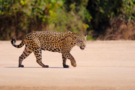 Jaguar, Panthera Onca, Female, Cuiaba River, Porto Jofre, Pantanal Matogrossense, Mato Grosso do Sul, Brazil South America