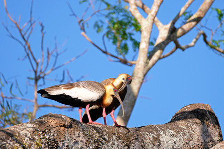 A couple of Buff Necked Ibis, Theristicus Caudatus, also known as the White-throated Ibis, standing on a branch in Pantanal, Porto Jofre, Mato Grosso, Brazil, South America