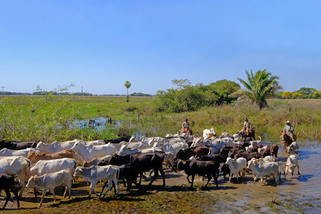 Unrecognizable cowboys with cows, cattle transport on the nature parkway in the Pantanal, Corumba, Mato Grosso Do Sul, Brazil, South America