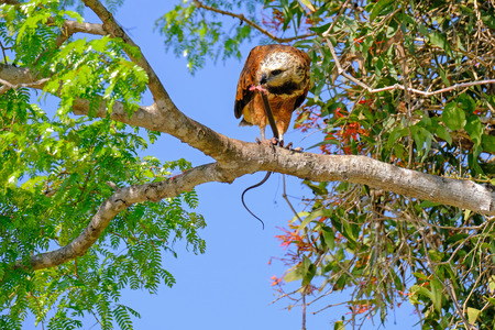 Black-collared Hawk, Busarellus Nigricollis, perched on a tree and eating a snake, Pantanal, Porto Jofre, Mato Grosso, Brazil, South America