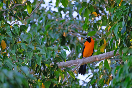 Orange-backed Troupial, Icterus Croconotus, perching on a branch, Aquidauana, Pantanal, Mato Grosso Do Sul, Brazil, South America