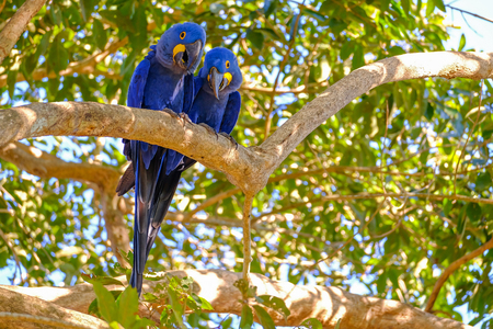 Hyacinth Macaw, Anodorhynchus Hyacinthinus, or Hyacinthine Macaw, Pantanal, Mato Grosso do Sul, Brazil, South America