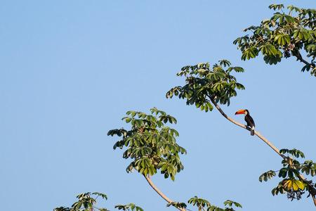 Toco Toucan, Ramphastos Toco, also known as the Common Toucan, Giant Toucan, Pantanal, Mato Grosso do Sul, Brazil, South America