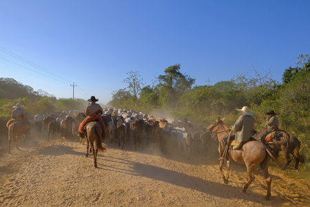 Unrecognizable cowboys with cows, cattle transport on the nature parkway in the Pantanal, Corumba, Mato Grosso Do Sul, Brazil, South America 免版税图像