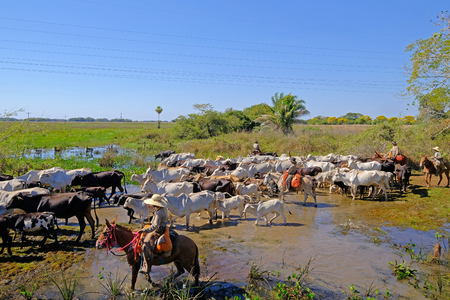 Unrecognizable cowboys with cows, cattle transport on the nature parkway in the Pantanal, Corumba, Mato Grosso Do Sul, Brazil, South America Sajtókép