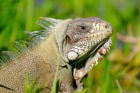 Green Iguana, Iguana Iguana, also known as the American Iguana, Pantanal, Porto Jofre, Mato Grosso, Brazil, South America 版權商用圖片