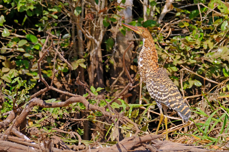 Juvenile young Rufescent Tiger Heron, Tigrisoma Lineatum, in the nature habitat near Porto Jofre, Pantanal, Mato Grosso, Brazil, South America