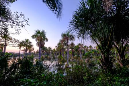 Palm trees in the lagoon Lagoa das Araras at sunrise, home of Blue And Yellow Macaws, Bom Jardim, Nobres, Mato Grosso, Brazil, South America