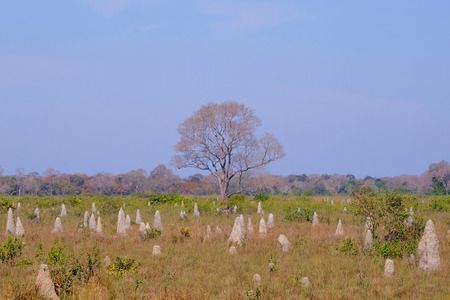 Beautiful termite mounds on dry grassy agricultural field, near Pocone, Mato Grosso Do Sul, Southern Pantanal, Brazil, South America