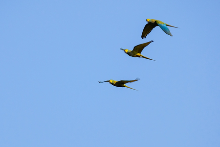 Flying Red-bellied Macaw, Orthopsittaca Manilata, green colored parrot bird with yellow head and red belly, palm lagoon Lagoa Das Araras, Bom Jardim, Nobres, Mato Grosso, Brazil, South America 写真素材