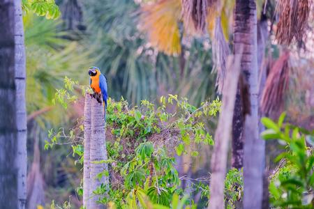 Blue And Yellow Macaw parrot, Ara Ararauna, palm lagoon Lagoa das Araras, Bom Jardim, Nobres, Mato Grosso, Brazil, South America