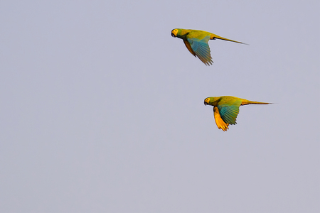 A couple of flying Red-bellied Macaw, Orthopsittaca Manilata, green colored parrot bird with yellow head and red belly, lagoon Lagoa Das Araras, Bom Jardim, Nobres, Mato Grosso, Brazil, South America
