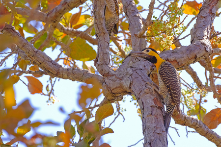 Campo Flicker, Colaptes Campestris, a species of bird in the woodpecker family, Pocone, Pantanal, Mato Grosso, Brazil, South America