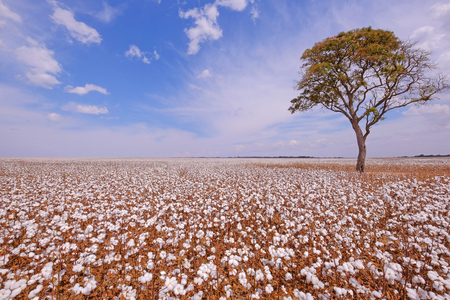 Tree in the middle of a cotton field in Campo Verde, Mato Grosso, Brazil, South America