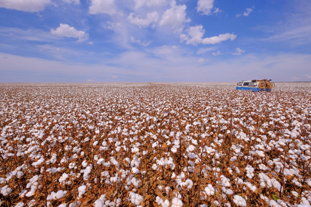 Old german vintage campervan in a cotton field ready for harvesting in Campo Verde, Mato Grosso, Brazil, South America