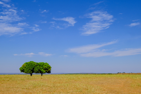 Beautiful Pantanal landscape with two nice trees, cloudy blue sky and yellow field, Bom Jardim Nobres, Mato Grosso, Brazil, South America