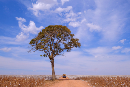 Old german vintage campervan and tree in the middle of a cotton field in Campo Verde, Mato Grosso, Brazil, South America