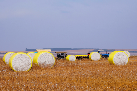 Round bales of freshly harvested cotton wrapped in yellow plastic, laying in the field in Campo Verde, Mato Grosso, Brazil, South America