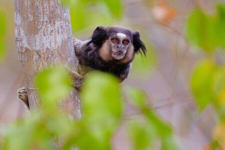 Black Tufted Marmoset, Callithrix Penicillata, sitting on a branch in the trees at Poco Encantado, Chapada Diamantina, Bahia, Brazil, South America Banco de Imagens
