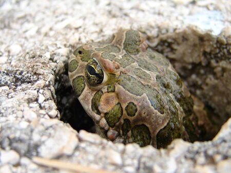 croak: Ugly frogg looking around  from hole           Stock Photo