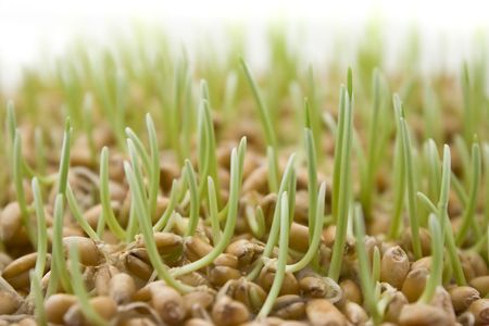 Close up of wheat germ on white background photo