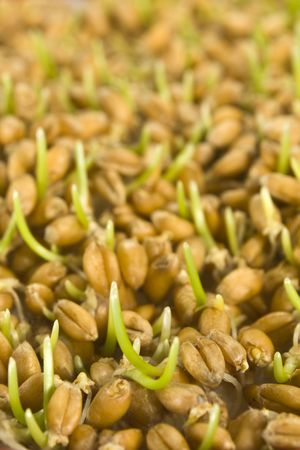 Close up of wheat germ with shallow DOF photo