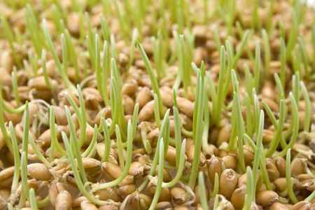 Close up of wheat germ  Stock Photo - 3932426