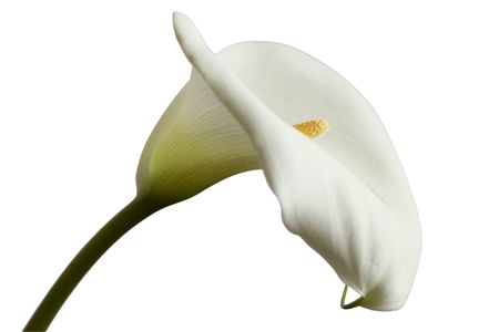 lilies: White Calla flower  isolated on bright background Stock Photo