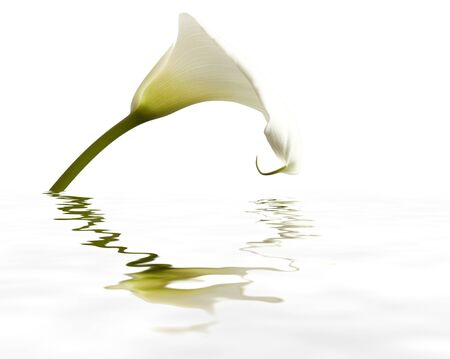 White Calla flower with reflection  isolated on bright background photo