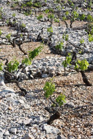 Famous Primosten vineyard between stone fences Stock Photo