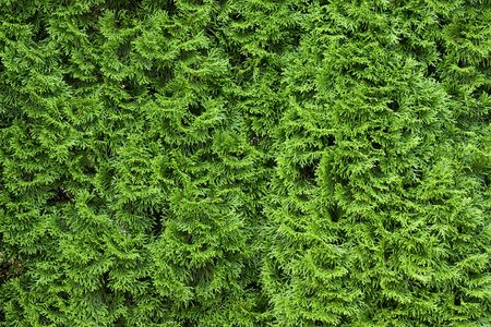 thuja occidentalis: Green Thuja occidentalis Columna texture macro
