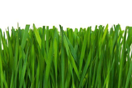 knippen: Close-up van vers groen gras snijden op witte achtergrond