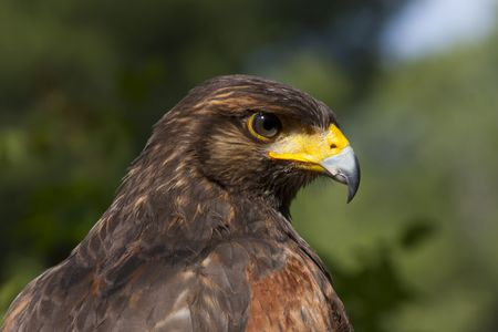 Harris Hawk bird of prey close up photo