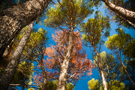 dryed: Pine tree forest with one dryed tree