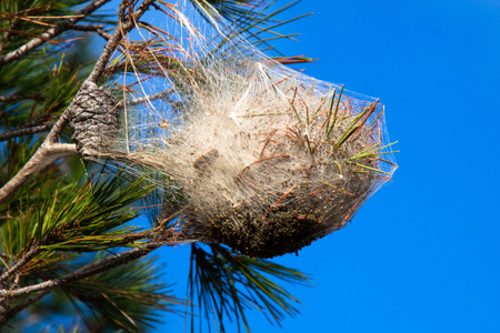 Pine processionary nest on a pine tree