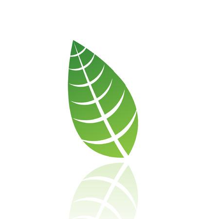 hojas de maple: Hoja verde aislado en blanco