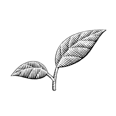 scratchboard: A Vector Illustration of a Scratchboard Style Ink Drawing of Leaves Illustration