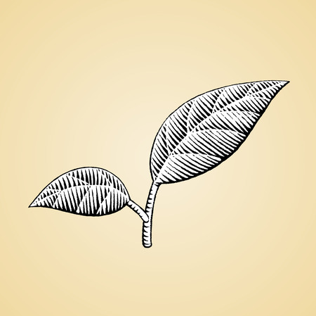 Vector Illustration of a Scratchboard Style Ink Drawing of Leaves with White Fill Illustration