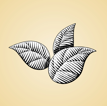 sketch: Vector Illustration of a Scratchboard Style Ink Drawing of Leaves with White Fill Illustration