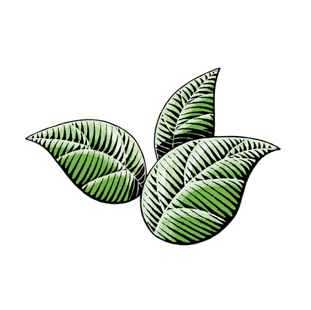 Vector Illustration of a Scratchboard Style Ink and Watercolor Drawing of Leaves Illustration