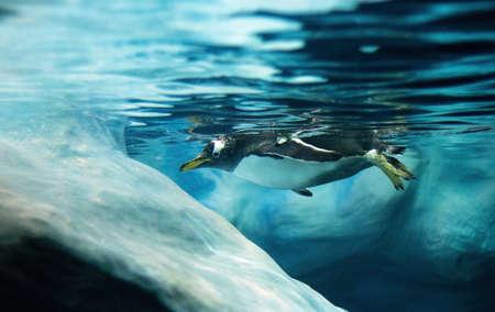 gentoo penguin: Gentoo penguin