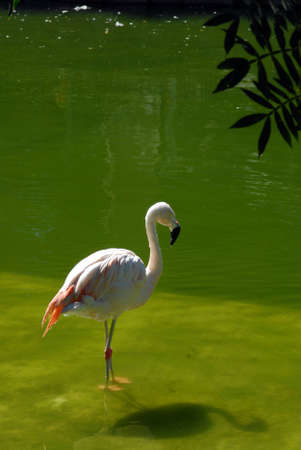 Flemish flamand rose bird resting in a calm green water lake Stock Photo